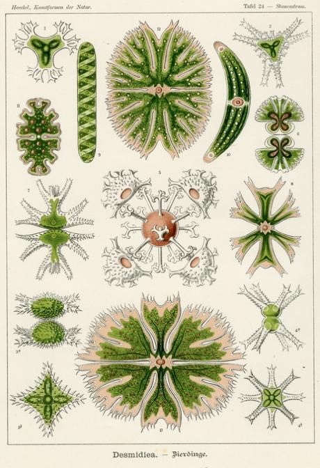 large_Haeckel_1899_tafel_24.jpg